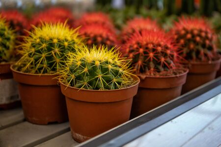 Decorative multicolored cacti. Many beautiful little cacti.