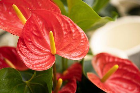 Anthurium flower close-up. Beautiful composition Stock Photo
