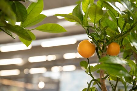 Tangerines on a tree branch. Fresh and beautiful citrus Stock Photo