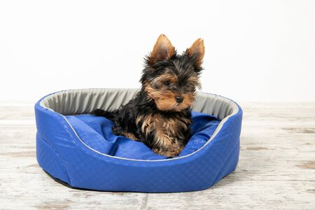Yorkshire Terrier puppy sleeping in a room on a dog bed. Animals.