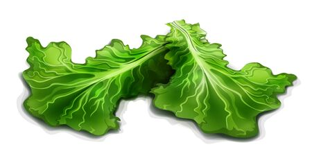 Lettuce. Vector illustration isolated on a white background