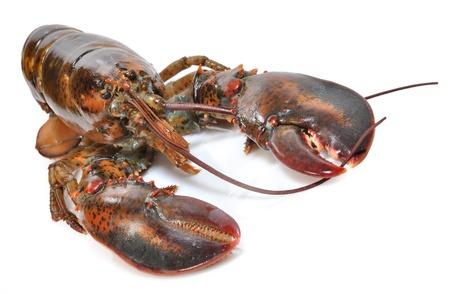 raw lobster: Bogavante sobre fondo blanco