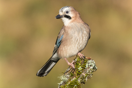 jay: Garrulus glandarius, birdwatching