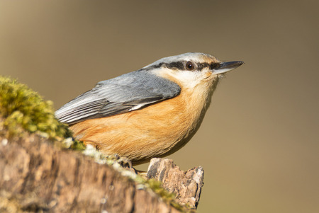 birdwatching: Birdwatching, nuthatch