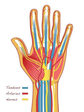 tendones: La anatom�a manos humanas con tendones, arterias y nervios