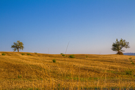Tuscan countryside landscape with wheat and trees