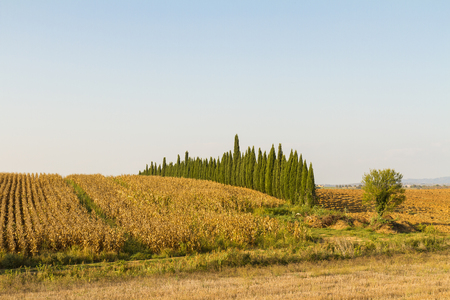 Tuscan countryside landscape with cypress trees and rows of vines