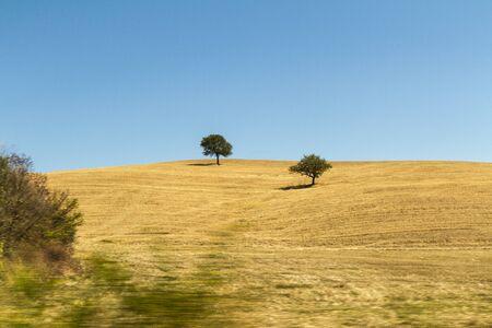 Alberi su campo di grano