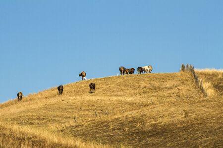 bovini al pascolo in collina