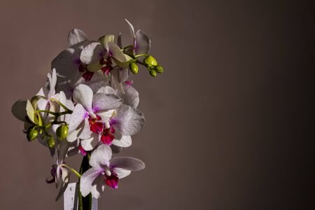 White and purple orchid flowers photographed in the studio