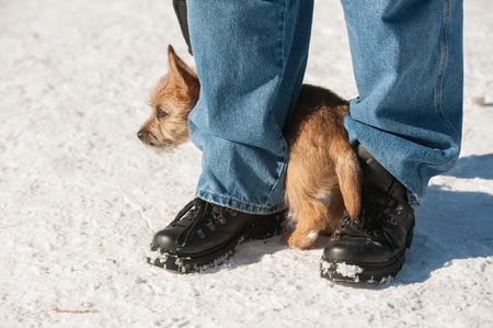run down: Cute Cairn Terrier puppy playing outside in cold winter snow. Young dog acting shy in the park on a sunny day and hiding between its owners legs