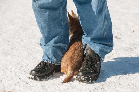 Leuk Cairn Terrier-puppy het spelen buiten in koude de wintersneeuw. Jonge hond doen schuchter in het park op een zonnige dag en verbergen tussen de benen van de eigenaar