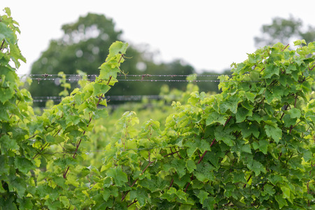Beautiful lush green vineyard on a sunny summer day. Riesling grape vines fresh after the summer rain. Winemaking tradition.