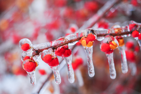 Nature encased in ice after a storm. Ice storm in Toronto, frozen water droplets on branches. Beautiful background, shallow depth of field with copy space. Icicles on red berries. Archivio Fotografico