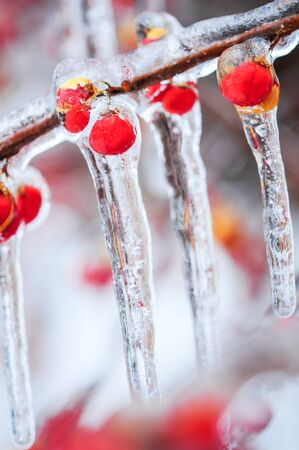 field maple: Nature encased in ice after a storm. Ice storm in Toronto, frozen water droplets on branches. Beautiful background, shallow depth of field with copy space. Icicles on red berries. Stock Photo