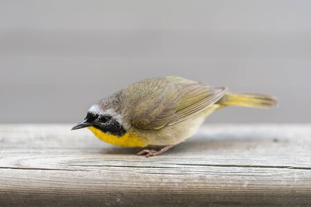 Small bird with yellow feathers on its chest. Looking at the camera on a neutral background.