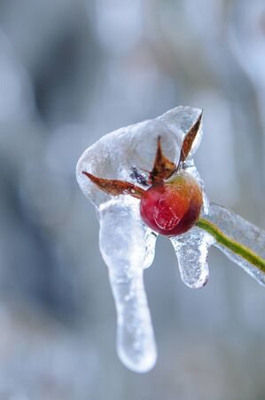 Nature encased in ice after a storm. Ice storm in Toronto, frozen water droplets on branches. Beautiful background, shallow depth of field with copy space. Icicles on red berries. Zdjęcie Seryjne