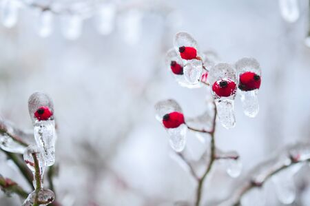 Nature encased in ice after a storm. Ice storm in Toronto, frozen water droplets on branches. Beautiful background, shallow depth of field with copy space. Icicles on red berries. Stock Photo