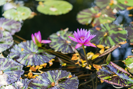 Water lily floating on water surrounded by green leaves. Purple and pink flowers in bloom.
