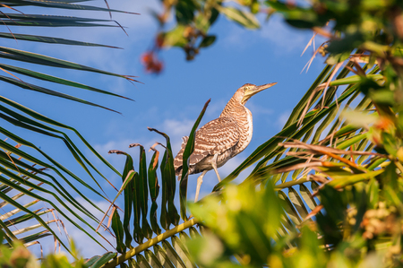 weighs: Bare throated Tiger Heron perched in a palm tree in Mexico. Bird nesting in leaves during sunset in Riviera Maya.