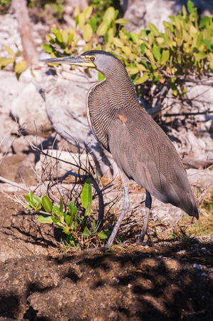 weighs: Bare throated Tiger Heron perched on the rocky ground in Mexico. Bird nesting in shrubs during sunset in Riviera Maya.
