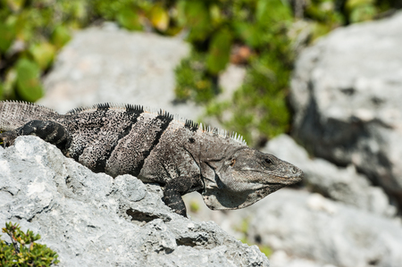 Close up of spiny tailed iguana sitting on the rocky shore of the Caribbean sea in Mexico. Detailed reptile scale pattern. Stock Photo
