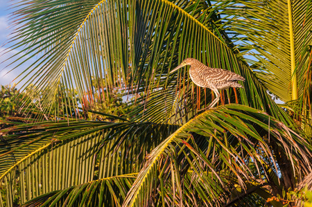 Bare throated Tiger Heron perched in a palm tree in Mexico. Bird nesting in leaves during sunset in Riviera Maya.