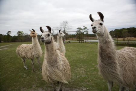 four llamas in a breeze
