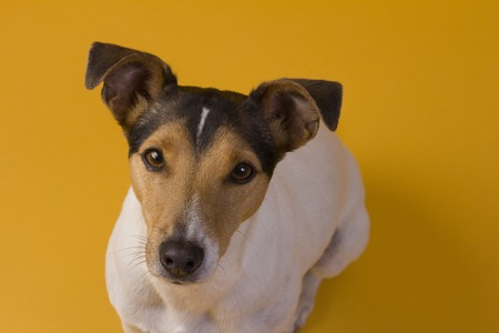 jack russel: Jack Russel on yellow background
