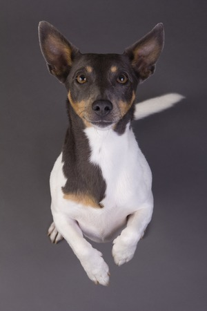 jack russel: Jack Russel standing up grey background