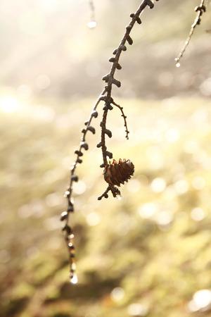 pinecone: Pinecone hanging in sunlight