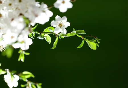 Beautiful, blooming white flowers on thin twig  Space for text Stock Photo