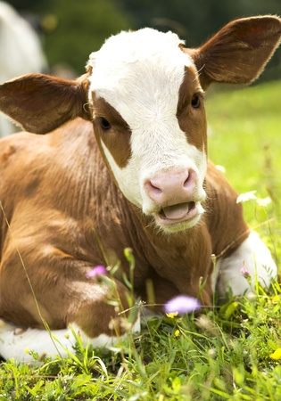 Portrait of a beautiful heifer  young cow  on the grass Stock Photo