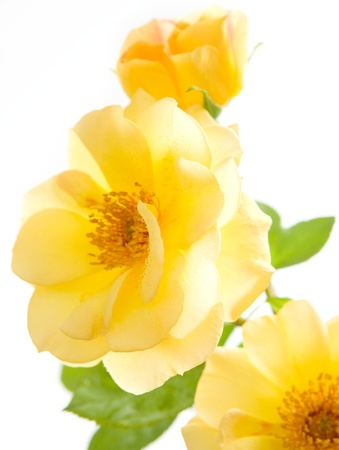 rose coloured: Yellow roses isolated on white bacground  Stock Photo