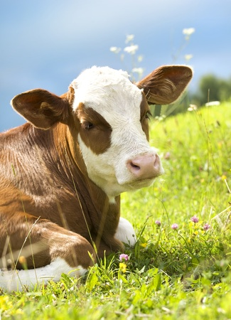 beautiful cow: Portrait of a beautiful cow on the grass   Blue sky in background