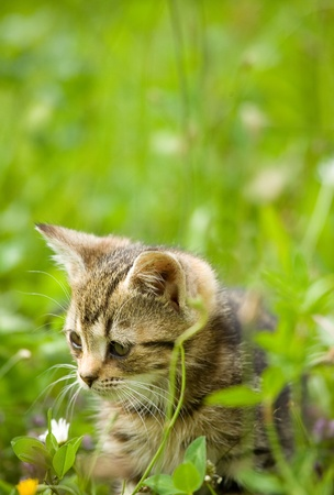 little kitten hunting in green grass photo