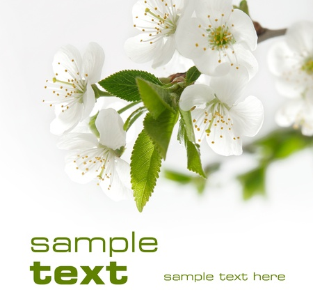 plum blossom: White flowers  Space for text isolated on solid color Stock Photo