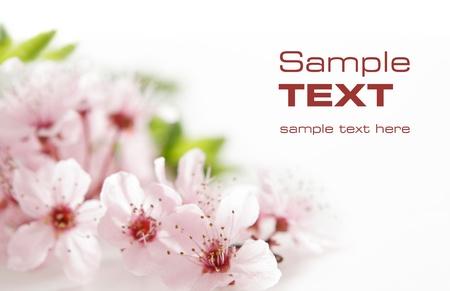 ciruela: Flores rosadas en un fondo blanco