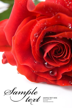 Red rose  Space for text isolated on white  Stock Photo