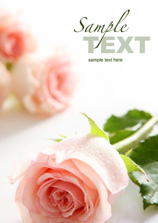 Beautiful pink roses  Space for text Stock Photo