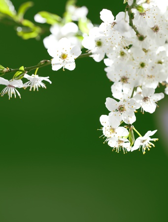 close up on twig of beautiful, blooming white flowers