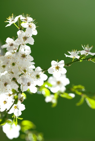 close up on twig with beautiful, blooming white flowers Stock Photo