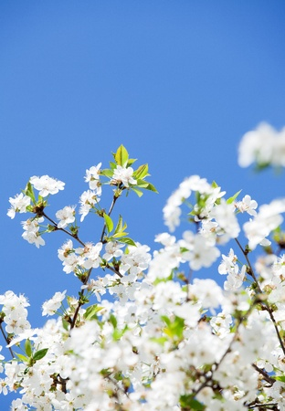 White flowers  Blue sky in background photo