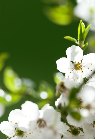 close up on beautiful white flowers  Space for your text Stock Photo - 13536477