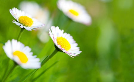 Close up on daisies in green grass photo