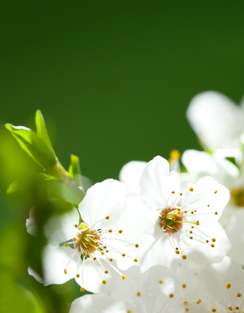 Close up on beautiful white apple flowers  Space for your text