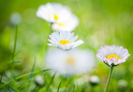 The daisies in grass  photo