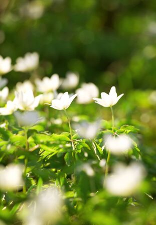 anemone flower: White anemones - flowers Stock Photo