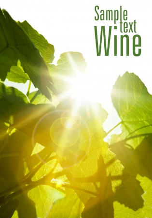 Green wine leaves and sun rays  Space for text Stock Photo