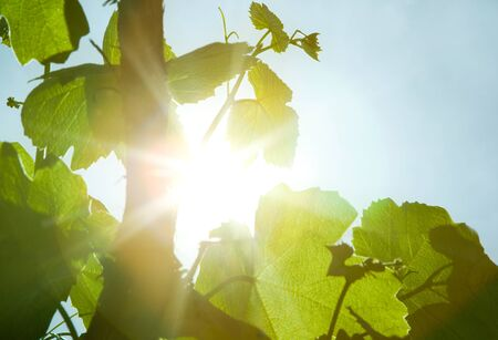 green wine leaves and sun rays Stock Photo - 14081310